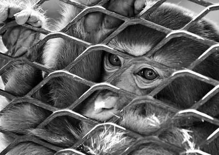 animal trap: sad monkey in cage
