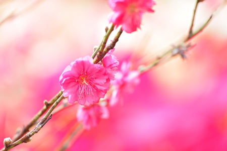 peach blossom , decoration flower for chinese new year photo