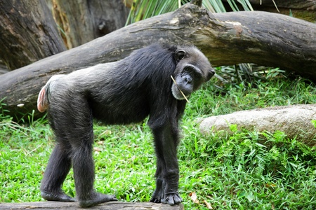 Chimpanzee Stock Photo - 12557468
