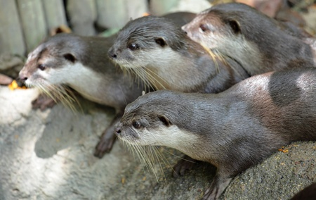 clawed: Oriental Short Clawed Otters