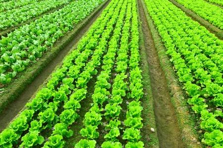 industria alimentaria: Filas de lechuga reci�n plantados Foto de archivo