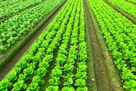 agriculture industry: Rows of freshly planted lettuce Stock Photo