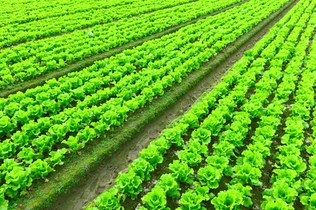 planted: Rows of freshly planted lettuce Stock Photo