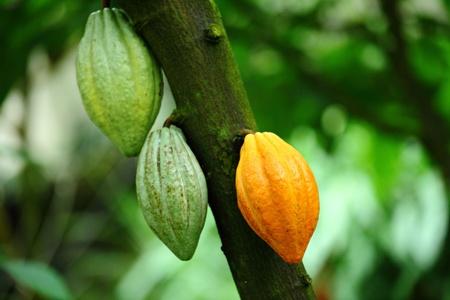 Cocoa pod photo