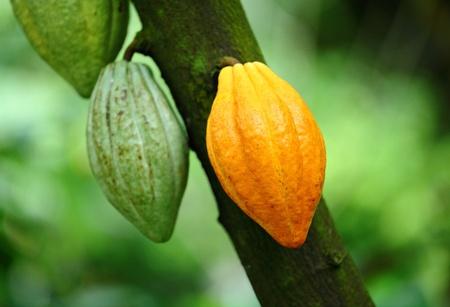 Cocoa pod Stock Photo