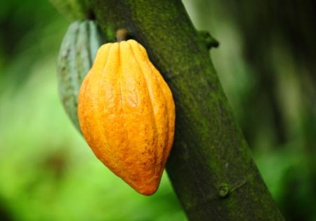 Cocoa pods photo