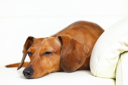 dachshund dog sleep on sofa photo