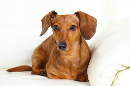 dachshund dog at home on sofa Stock Photo - 12879979