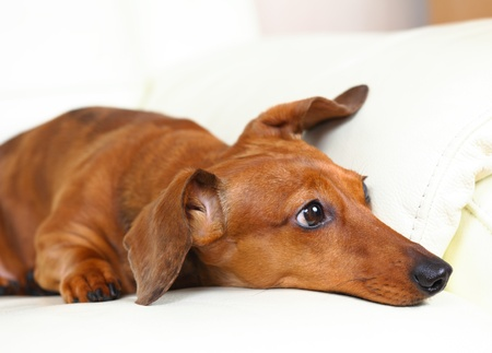 dachshund dog at home on sofa Stock Photo - 12879883