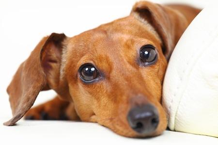 dachshund dog at home on sofa photo