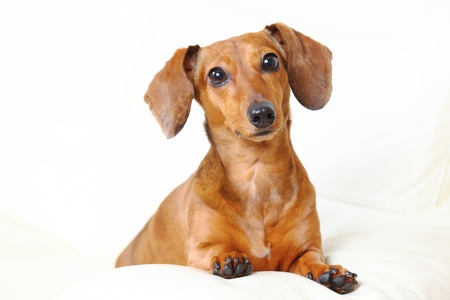 dachshund dog at home on sofa Stock Photo - 12984915
