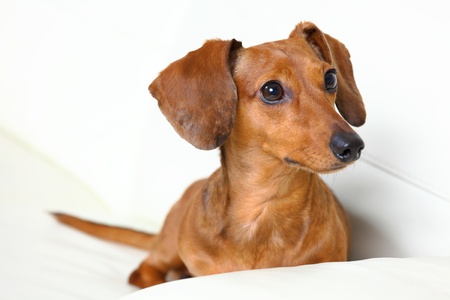 dachshund dog at home on sofa photo
