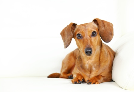 Dachshund Dog Stock Photo - 13333523
