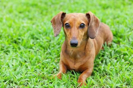 dachshund dog in park photo