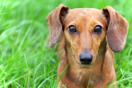 jezevčík pes v parku Reklamní fotografie