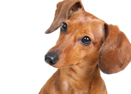 dachshund: Dachshund Dog Stock Photo
