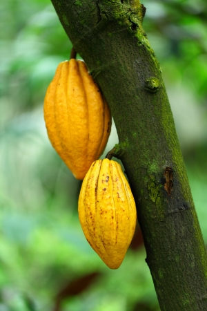 Cocoa pods photo