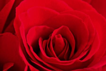 single rose: red rose Stock Photo