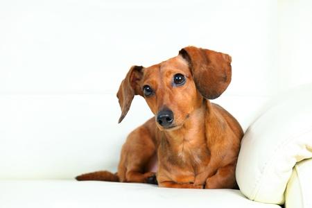 dachshund dog on sofa Stock Photo - 14836094