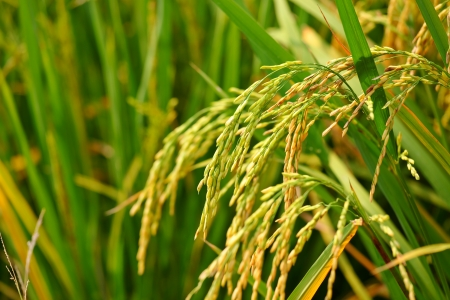 rice plant: paddy rice field