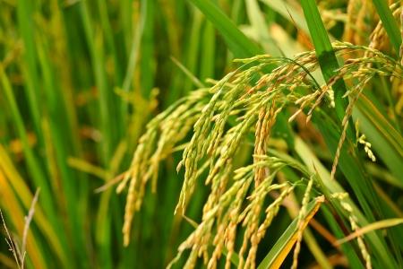 rice field: paddy rice field
