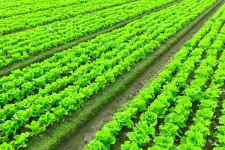 lettuce plant in field photo