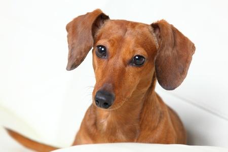 dachshund dog on sofa photo