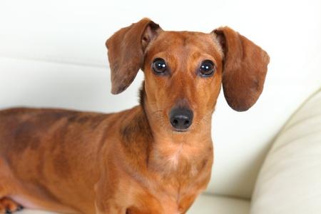 dachshund dog on sofa Stock Photo - 14887420