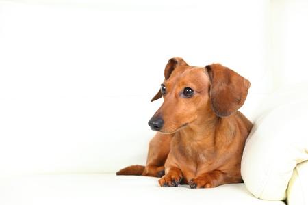 dachshund dog on sofa Stock Photo - 14926746