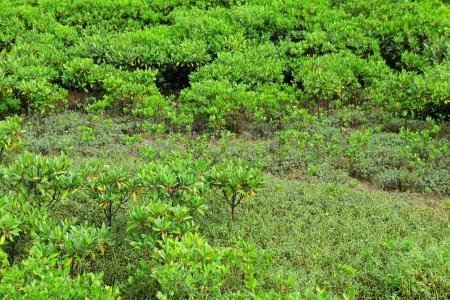 Red Mangroves in Hong Kong photo
