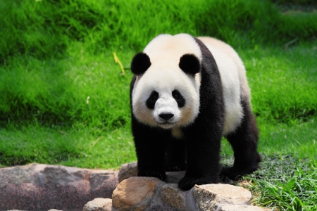 oso negro: panda