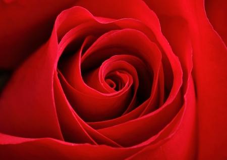 in full bloom: red rose Stock Photo