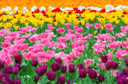 tulip in flower field photo