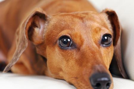 dachshund dog on sofa Stock Photo - 15234454