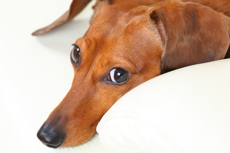 dachshund dog on sofa Stock Photo - 15638882