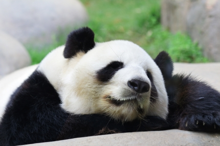 jungle animals: Sleeping panda Stock Photo