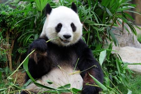 géant ours panda mangeant le bambou