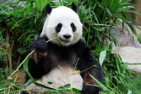 species: giant panda bear eating bamboo