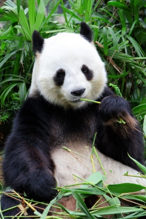 animal in the wild: gigante oso panda comiendo bambú