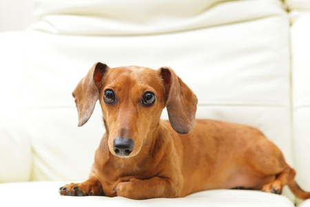 dachshund dog on sofa Stock Photo - 16017754