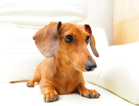 dachshund dog on sofa Stock Photo - 16017775