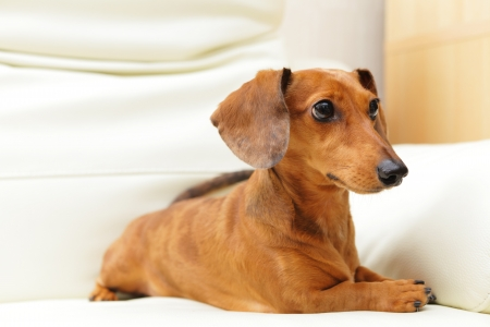 dachshund dog on sofa Stock Photo - 16017786