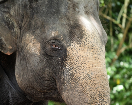 Close up of asian Elephant photo