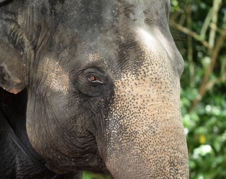 Close up of asian Elephant Stock Photo - 16021884