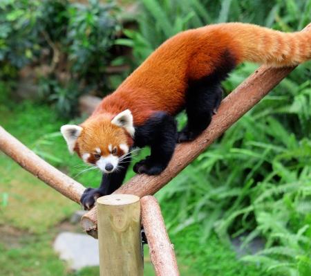 catlike: red panda