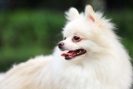 white pomeranian dog Stock Photo - 17115419