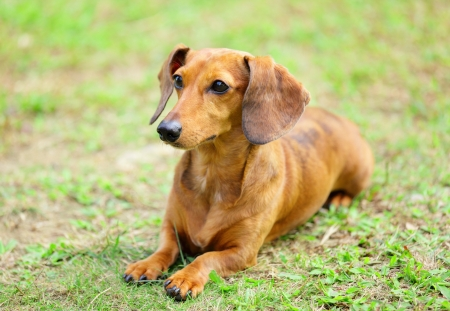 dachshund dog in park photo