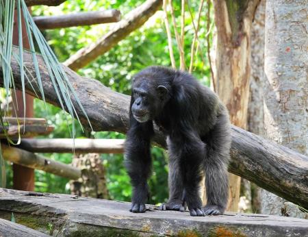 ngamba: chimpanc� Foto de archivo
