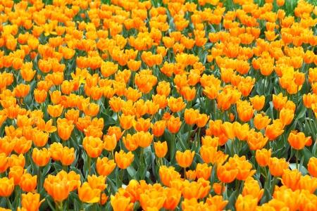 tulip flower Stock Photo - 17302471