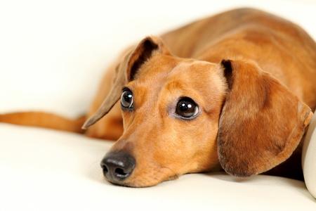 dachshund dog on sofa Stock Photo - 17309064